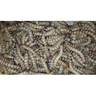 Insectra Morio wormen