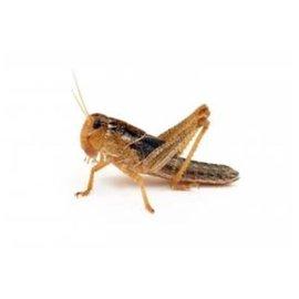 Insectra Schachtel Heuschrecken