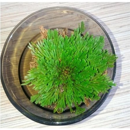 False Rose of Jericho - Wonderplant
