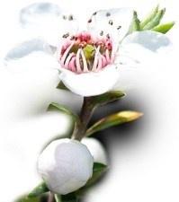 Manuka-Honey flower