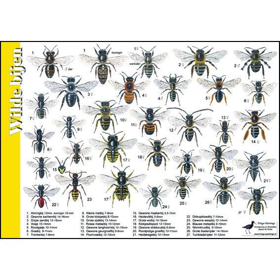 Tringa Paintings Recognition Card Wild Bees
