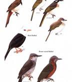 Birds of Japan
