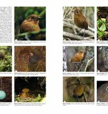 Antpittas and Gnateaters