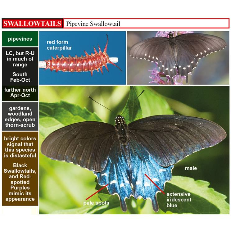A Swift Guide to Butterflies of Mexico and Central America