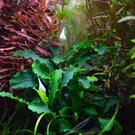 Tropica Bucephalandra 'Wavy Green' auf Lavagestein