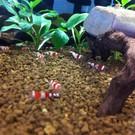 Onlineaquarium spullen Crystal red shrimp grade A - S+