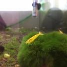 Onlineaquarium spullen Yellow King Kong garnalen