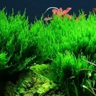Tropica Flame moos - In vitro cup