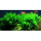 Tropica Flame moss - In vitro cup