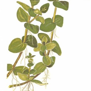 Tropica Bacopa caroliniana  - Cocos pot