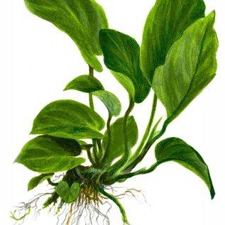 Tropica Anubias barteri caladiifolia - In pot