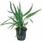 Tropica Microsorum pteropus 'Narrow' - In pot