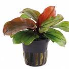 Tropica Echinodorus 'Reni' - In pot