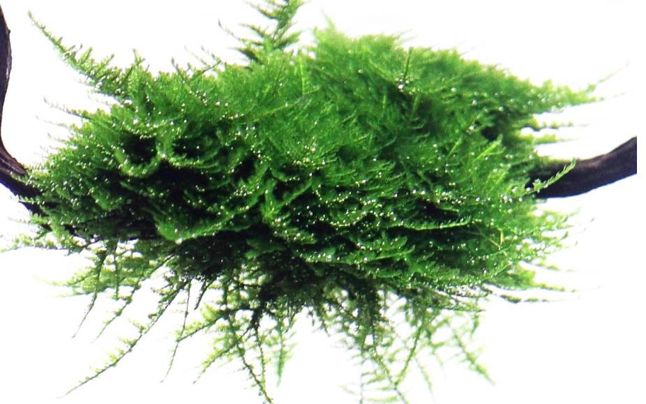 Driftwood with Christmas moss - Onlineaquariumspullen
