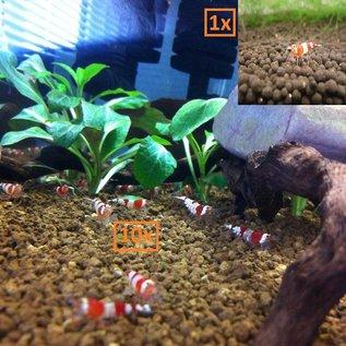 Onlineaquarium spullen 10 Crystal red shrimp + 1 wine red shrimp