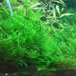 Tropica Taiwan moss - In vitro cup
