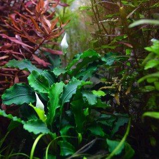 Tropica Bucephalandra sp. 'Wavy Green' in pot