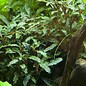 Tropica Bucephalandra sp. 'Red' in pot