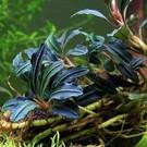 Onlineaquarium spullen Bucephalandra Kedagang fate
