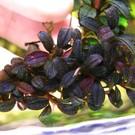 Onlineaquarium spullen Bucephalandra Brownie metallica
