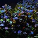 Onlineaquarium spullen Bucephalandra Purple blue