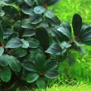 Onlineaquarium spullen Bucephalandra Suang round