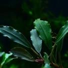 Onlineaquarium spullen Bucephalandra Narcissus