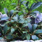 Onlineaquarium spullen Bucephalandra Deep purple