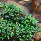 Onlineaquarium spullen Bucephalandra Sintang red/yellow