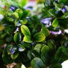 Onlineaquarium spullen Bucephalandra Sintang lime gold