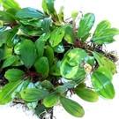 Onlineaquarium spullen Bucephalandra nanga tebidah