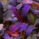 Onlineaquarium spullen Bucephalandra black violet