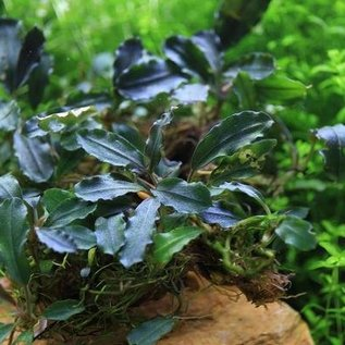Onlineaquarium spullen Bucephalandra Brownie alysa