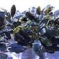 Onlineaquarium spullen Bucephalandra Blackstain