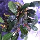 Onlineaquarium spullen Bucephalandra Pandora