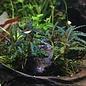 Onlineaquarium spullen Bucephalandra Red catherine