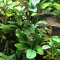 Onlineaquarium spullen Bucephalandra Phantom