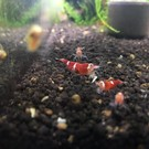 Onlineaquarium spullen Super crystal red