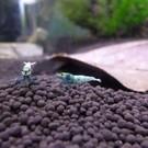 Onlineaquarium spullen Blue bolt garnalen