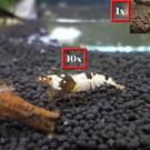 Onlineaquarium spullen 10 Crystal black garnalen + 1 panda garnaal