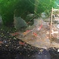Onlineaquarium spullen Calceo bee red garnalen