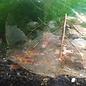 Onlineaquarium spullen Calceo bee red garnelen