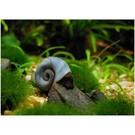 Ramhorn Snail Blue