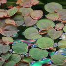 Tropica Phyllanthus fluitans - In Vitro Cup
