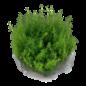 Tropica Myriophyllum 'Guyana' - In Vitro Cup
