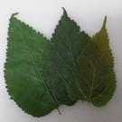 Onlineaquarium spullen Maulbeeren Blätter Budget