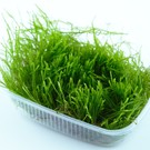 Tropica Tropica Flame moss in 150 cc cup - limited edition
