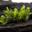Onlineaquarium spullen Milimetre Moss