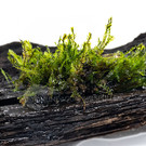 Onlineaquarium spullen Fissidens Splachnobryoides