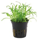 Tropica Lilaeopsis brasiliensis - In pot